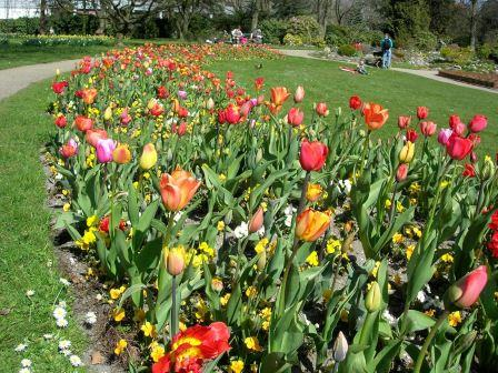 vilde tulipaner løg